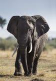 Μεγάλος ελέφαντας στη σαβάνα Αφρική Κένυα Τανζανία serengeti Maasai Mara Στοκ Φωτογραφίες