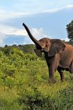 Μεγάλος ελέφαντας στον κορμό βουρτσών επάνω Στοκ φωτογραφίες με δικαίωμα ελεύθερης χρήσης