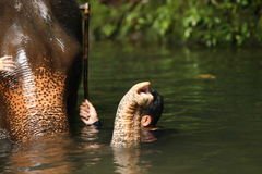 Μεγάλος ελέφαντας στον ποταμό, μόνο κεφάλι και κορμός proboscis ανωτέρω - νερό στοκ φωτογραφίες