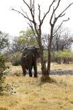 Μεγάλος ελέφαντας ταύρων Στοκ φωτογραφία με δικαίωμα ελεύθερης χρήσης