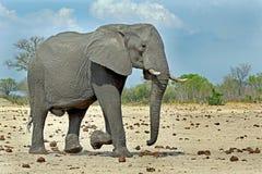 Μεγάλος ελέφαντας του Bull strolling στις πεδιάδες στο εθνικό πάρκο Hwange Στοκ Εικόνες