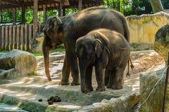 Μεγάλος ελέφαντας δύο στο ζωολογικό κήπο Στοκ Εικόνες