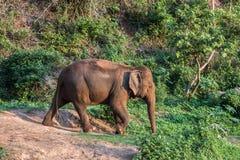 μεγάλος ελέφαντας Στοκ εικόνες με δικαίωμα ελεύθερης χρήσης