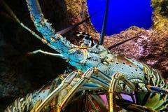 Μεγάλος ζωηρόχρωμος αστακός Στοκ Εικόνα