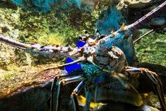 Μεγάλος ζωηρόχρωμος αστακός Στοκ φωτογραφία με δικαίωμα ελεύθερης χρήσης