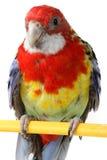 Μεγάλος ζωηρόχρωμος παπαγάλος Στοκ φωτογραφία με δικαίωμα ελεύθερης χρήσης