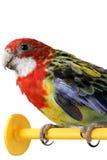 Μεγάλος ζωηρόχρωμος παπαγάλος Στοκ εικόνες με δικαίωμα ελεύθερης χρήσης