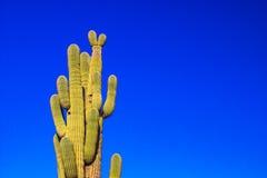 Μεγάλος κάκτος Saguaro που πλαισιώνεται ενάντια στο μπλε ουρανό της Αριζόνα στοκ εικόνες με δικαίωμα ελεύθερης χρήσης
