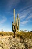 Μεγάλος κάκτος saguaro σε ένα τοπίο ερήμων Στοκ Φωτογραφία
