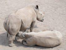Μεγάλος και πολύ ισχυρός ρινόκερος που περπατά σε έναν ζωολογικό κήπο στην Ερφούρτη Στοκ φωτογραφία με δικαίωμα ελεύθερης χρήσης