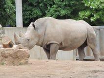 Μεγάλος και πολύ ισχυρός ρινόκερος που περπατά σε έναν ζωολογικό κήπο στην Ερφούρτη Στοκ Φωτογραφίες