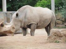 Μεγάλος και πολύ ισχυρός ρινόκερος που περπατά σε έναν ζωολογικό κήπο στην Ερφούρτη Στοκ Εικόνες