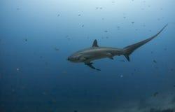 Μεγάλος καρχαρίας αλωνιστικών μηχανών Στοκ Εικόνες