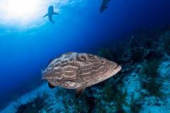 Μεγάλος καρχαρίας grouper στενός επάνω και σκοπέλων στο υπόβαθρο, κατάδυση σκαφάνδρων Στοκ Φωτογραφία