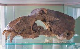 Μεγάλος καφετής αντέχει, arctos Ursus, παλαιό κρανίο στοκ εικόνες