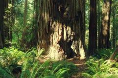 Μεγάλος κορμός δέντρων στο άγριο δάσος Στοκ Φωτογραφίες