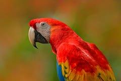 Μεγάλος κόκκινος παπαγάλος ερυθρό Macaw, Ara Μακάο, συνεδρίαση πουλιών στον κλάδο, Κόστα Ρίκα Σκηνή άγριας φύσης από την τροπική  Στοκ εικόνες με δικαίωμα ελεύθερης χρήσης