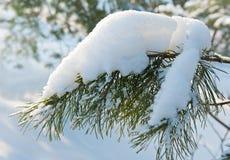 Μεγάλος κλώνος του δέντρου πεύκων με το χιόνι Στοκ φωτογραφίες με δικαίωμα ελεύθερης χρήσης