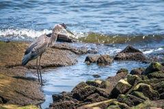 Μεγάλος μπλε ερωδιός που αλιεύει στο κόλπο Chesapeake Στοκ Εικόνες