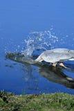 Μεγάλος μπλε ερωδιός που βουτά για τα ψάρια Στοκ Εικόνες