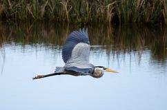 Μεγάλος μπλε ερωδιός που πετά, εθνικό καταφύγιο άγριας πανίδας σαβανών στοκ εικόνες