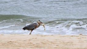 Μεγάλος μπλε ερωδιός στην ακτή με ένα ψάρι Στοκ Φωτογραφίες
