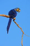Μεγάλος μπλε υάκινθος Macaw, hyacinthinus παπαγάλων Anodorhynchus, που κάθεται στον κλάδο με το σκούρο μπλε ουρανό, Pantanal, Βολ Στοκ Εικόνες