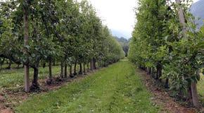 Μεγάλος οπωρώνας με τα δέντρα της Apple στα βουνά της Ιταλίας Στοκ φωτογραφίες με δικαίωμα ελεύθερης χρήσης