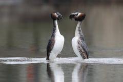 Μεγάλος-λοφιοφόρος grebe, cristatus Podiceps Στοκ φωτογραφίες με δικαίωμα ελεύθερης χρήσης