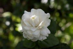 Μεγάλος δούκας της Jasmine sambac του λουλουδιού της Τοσκάνης Στοκ φωτογραφία με δικαίωμα ελεύθερης χρήσης