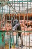 μεγάλος πίθηκος στο κλουβί Στοκ φωτογραφίες με δικαίωμα ελεύθερης χρήσης