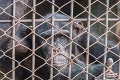 μεγάλος πίθηκος στο κλουβί Στοκ φωτογραφία με δικαίωμα ελεύθερης χρήσης