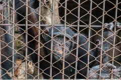 μεγάλος πίθηκος στο κλουβί Στοκ Εικόνες