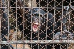 μεγάλος πίθηκος στο κλουβί Στοκ εικόνες με δικαίωμα ελεύθερης χρήσης