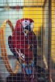 Μεγάλος παπαγάλος σε ένα κλουβί Στοκ Φωτογραφίες