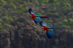 Μεγάλος παπαγάλος δύο στη μύγα Κόκκινος-και-πράσινο Macaw, chloroptera Ara, στο σκούρο πράσινο δασικό βιότοπο Όμορφος παπαγάλος m Στοκ εικόνα με δικαίωμα ελεύθερης χρήσης