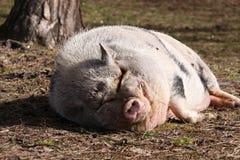 Μεγάλος παχύς ρόδινος ύπνος χοίρων στη χλόη από το δέντρο Στοκ Φωτογραφία