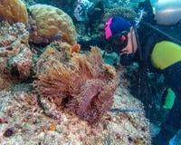 Μεγάλος πορφυρός δύτης Anemone και σκαφάνδρων Στοκ Φωτογραφίες