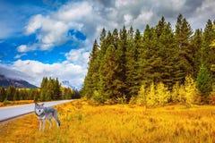 Μεγάλος πολικός λύκος στα ξύλα Στοκ φωτογραφία με δικαίωμα ελεύθερης χρήσης