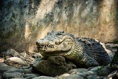 Μεγάλος πράσινος κροκόδειλος με ένα κλειστό στόμα και μεγάλα δόντια στους βράχους Στοκ Εικόνες