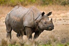 Μεγάλος ρινόκερος στοκ εικόνες