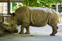 μεγάλος ρινόκερος Στοκ Εικόνα