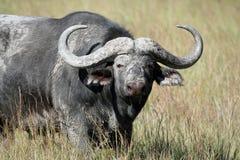 Μεγάλος ταύρος Buffalo ακρωτηρίων (Syncerus caffer) Στοκ Εικόνες