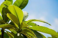 Μεγάλος τροπικός πράσινος βγάζει φύλλα υγρό με τις σταγόνες βροχής Στοκ Φωτογραφία