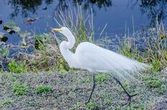 Μεγάλος τσικνιάς - εθνικό πάρκο Everglades Στοκ εικόνες με δικαίωμα ελεύθερης χρήσης