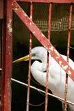 Μεγάλος τσικνιάς, alba ή μεγάλος άσπρος ερωδιός Ardea που πιάνεται και κλειδώνεται μόνο σε ένα κόκκινο κλουβί Στοκ Φωτογραφία