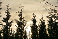 Μεγάλος φράκτης κυπαρισσιών στην ανατολή με τον ουρανό Στοκ φωτογραφία με δικαίωμα ελεύθερης χρήσης