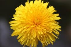μεγάλος φωτεινός ηλιακός ηλίανθος λουλουδιών Στοκ Εικόνες