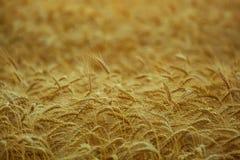 Μεγάλος ώριμος, χρυσός-καφετής τομέας, κίτρινος, σίτος στο ηλιοβασίλεμα Στοκ φωτογραφία με δικαίωμα ελεύθερης χρήσης