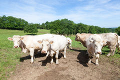 Μεγάλος Charolais ταύρος βόειου κρέατος με τις αγελάδες και έναν μόσχο μια πολύβλαστη άνοιξη π Στοκ φωτογραφία με δικαίωμα ελεύθερης χρήσης